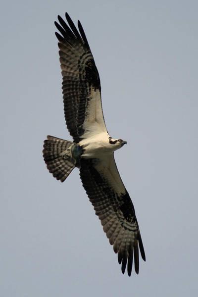 Photograph - Osprey With Fish by Rick Veldman