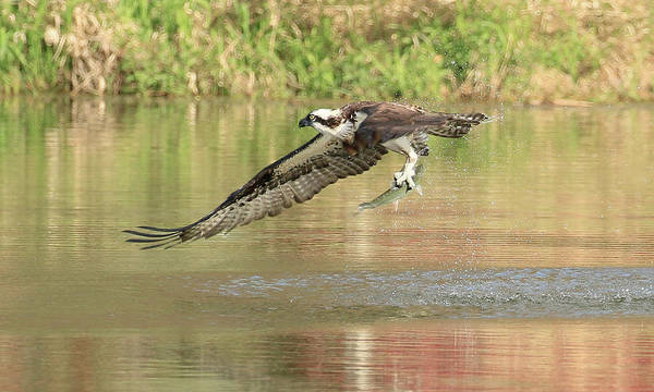 Wall Art - Photograph - Osprey With Fish by Steve McKinzie