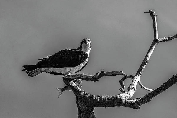Photograph - Osprey With Lunch by Cathy Kovarik