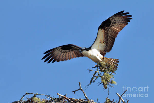 Photograph - Osprey With Nesting Materials by Debbie Stahre