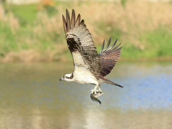 Wall Art - Photograph - Osprey With Trout by Steve McKinzie