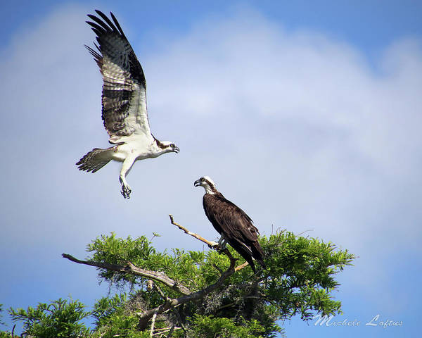 Photograph - Ospreys At Blue Cypress Lake by Michele A Loftus
