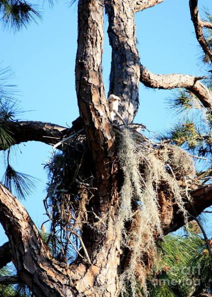 Photograph - Ospreys In Nest by Carol Groenen