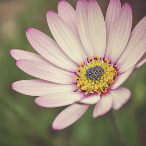 Randle Photograph - Osteospermum by Photo - Lyn Randle