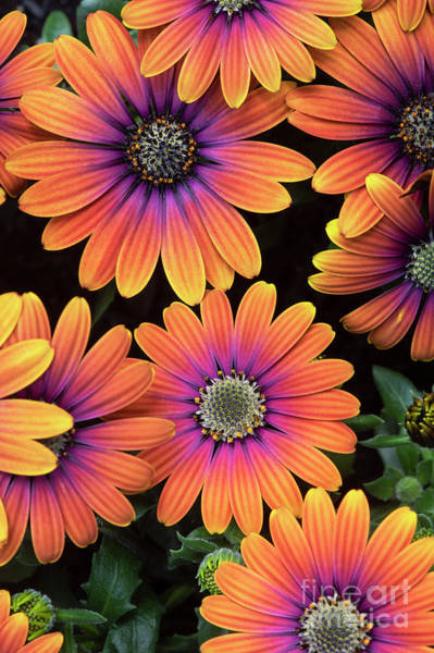 Wall Art - Photograph - Osteospermum Purple Sun Flower Pattern by Tim Gainey