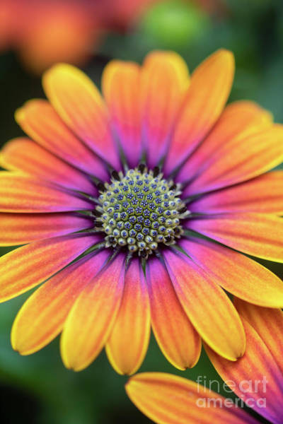 Photograph - Osteospermum Purple Sun Flower by Tim Gainey