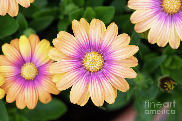 Wall Art - Photograph - Osteospermum Serenity Blushing Beauty Flowering by Tim Gainey