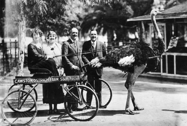 Adult Humor Photograph - Ostrich Driven by Hulton Collection