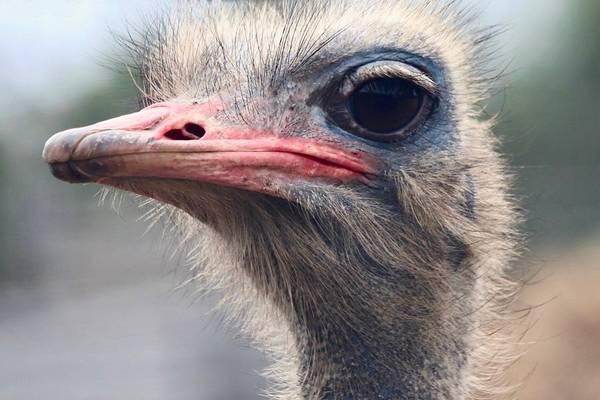 Photograph - Ostrich by Sarah Lilja