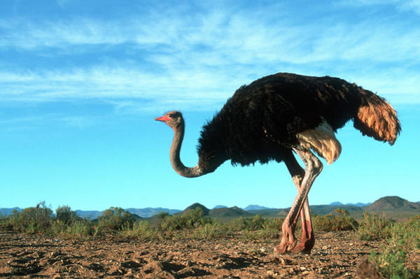 Safari Animal Photograph - Ostrich Struthio Camelus In A Field by Martin Harvey