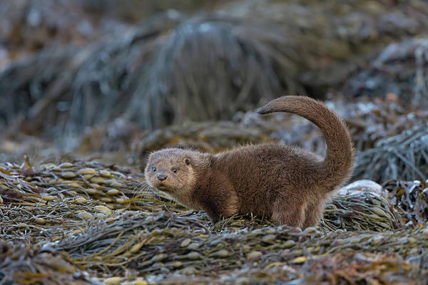 Photograph - Otter Cub Tail Up by Peter Walkden