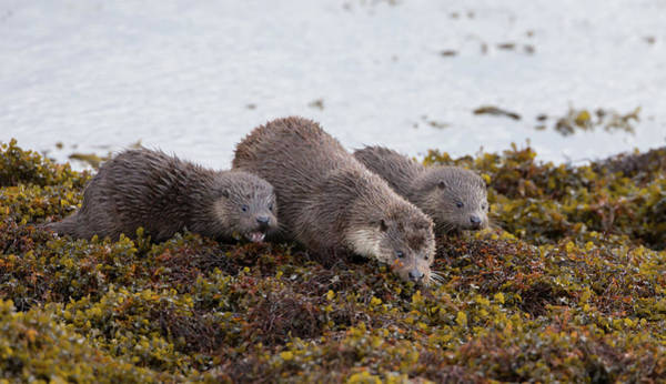 Photograph - Otter Family Fishing by Peter Walkden