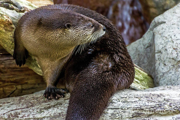 Photograph - Otter Interrupted by Kate Brown