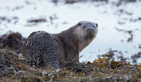 Photograph - Otter Looks Back by Peter Walkden