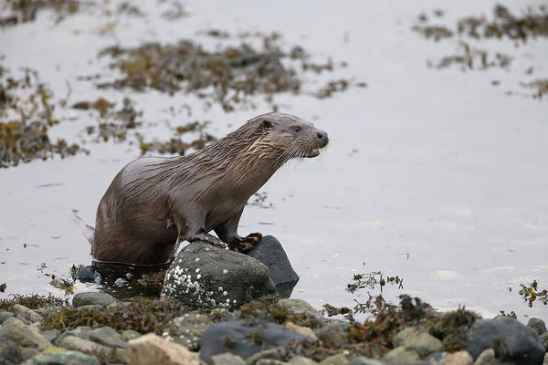 Photograph - Otter On Rocks by Peter Walkden