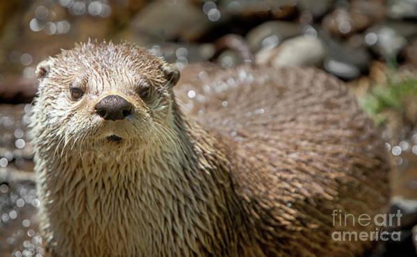 Photograph - Otter Photograph 1, Animal Decor, Animal Artwork, Otter Artwork, Otter Art,  by David Millenheft