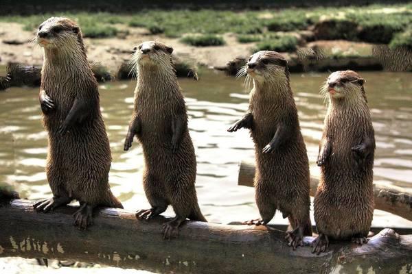 Photograph - Otters On Guard by David Matthews