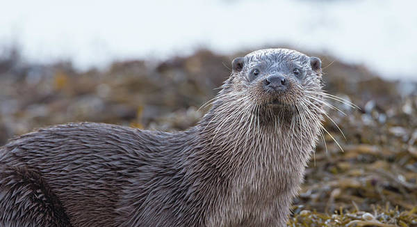 Photograph - Otter's Whiskers by Peter Walkden