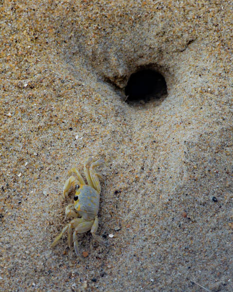 Wall Art - Photograph - Outer Banks Ghost Crab by Lora J Wilson