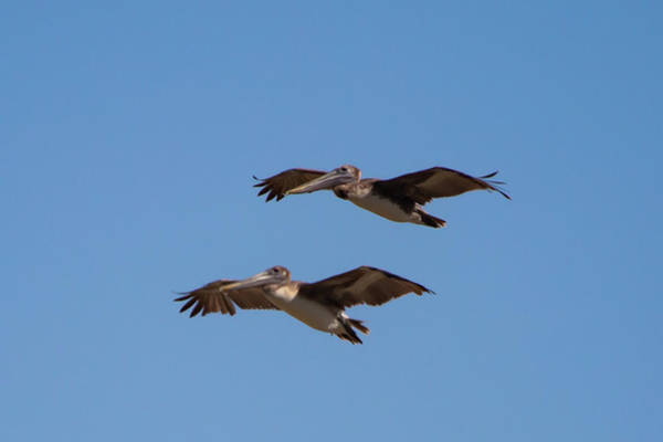 Photograph - Outer Banks Pelicans by Lora J Wilson