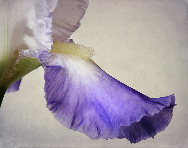Wall Art - Photograph - Outstanding Iris Petal by David and Carol Kelly