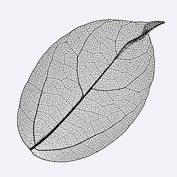 Photograph - Oval Skeleton Leaf On White Background. by Gary Slawsky