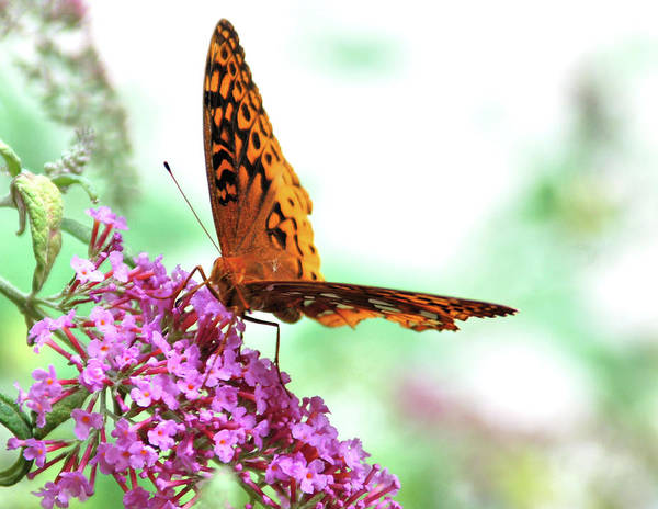 Photograph - Overexposed Butterfly by Kathy McCabe