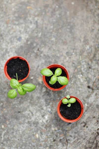 June Photograph - Overhead View Of Young Basil Plants by L Alfonse