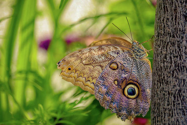 Photograph - Owl Butterfly by Susan Rydberg