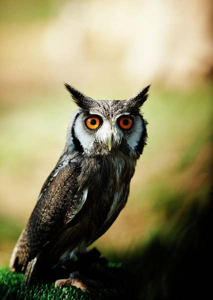 Vertebrate Photograph - Owl. Color Image by Claudio.arnese