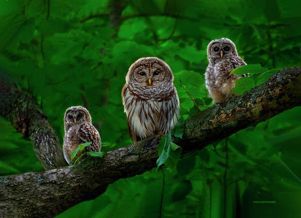 Barred Owl Photograph - Owl Family by Ron Jones