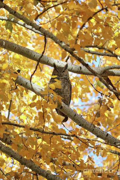 Photograph - Owl Hiding In Autumn Tree by Carol Groenen