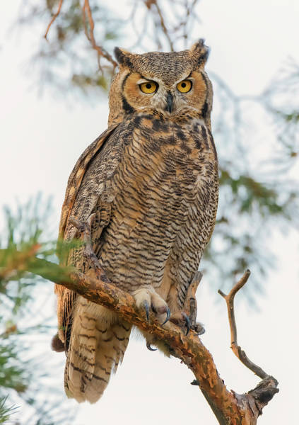 Photograph - Owl In A Pine Tree by Loree Johnson