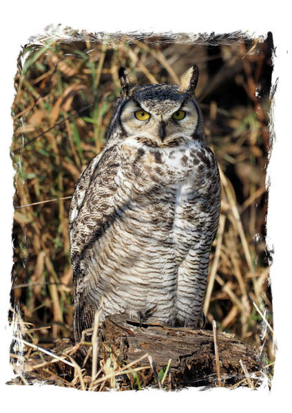Photograph - Owl by James Peterson