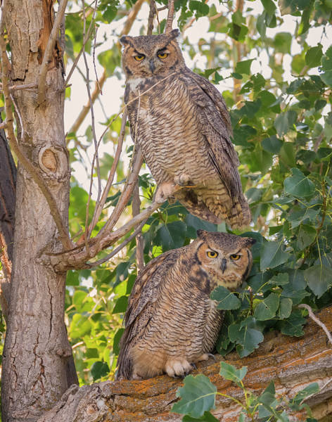Photograph - Owl Pair by Loree Johnson