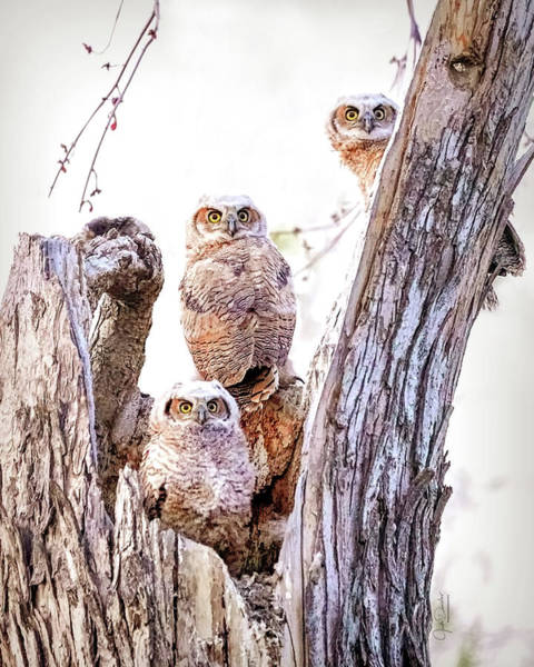 Photograph - Owl Trio Standing Guard by Judi Dressler