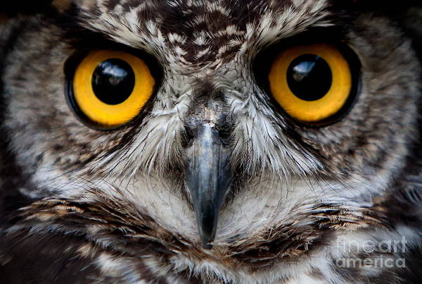 Solitary Wall Art - Photograph - Owls Are The Order Strigiformes by Ammit Jack