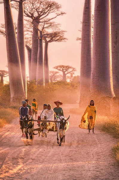 Pulling Photograph - Ox Cart On The Avenue Of The Baobabs by Cultura Rm Exclusive/romona Robbins Photography