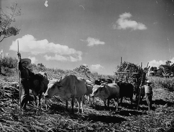 Working Photograph - Oxen And Farmers Working On A Sugar Cane by Hansel Mieth