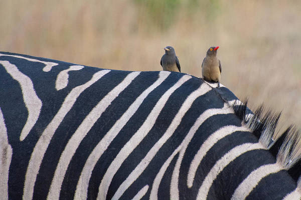 Photograph - Oxpeckers And A Zebra by Mark Hunter