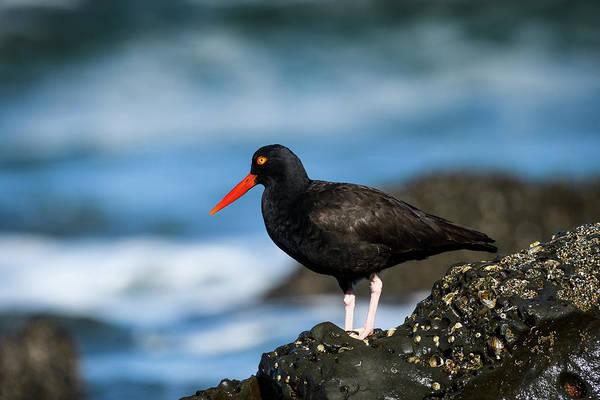 Photograph - Oystercatcher On The Seashore by Robert Potts