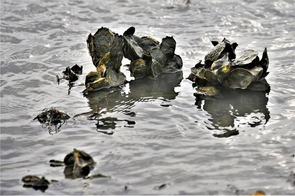Photograph - Oysters by Kim Bemis