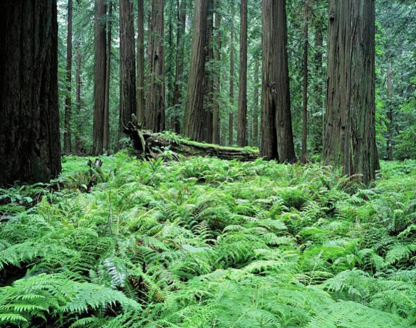 Coniferous Tree Photograph - P196-501e California. Usa. Redwood Np by John Kieffer