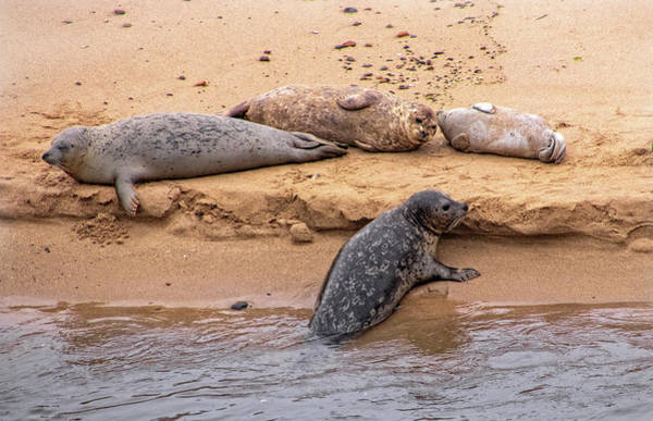 Photograph - Pacific Harbor Seals On The Beach by Carolyn Derstine