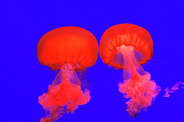 Side-by-side Photograph - Pacific Sea Nettle Jellyfish, Shanghai by Peter Adams