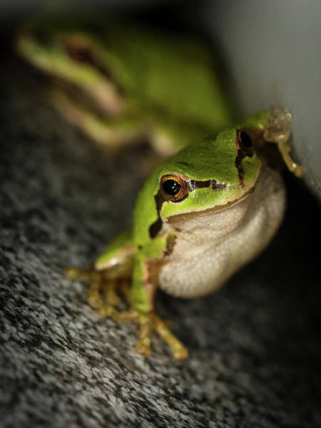 Photograph - Pacific Tree Frog Stare by Jean Noren