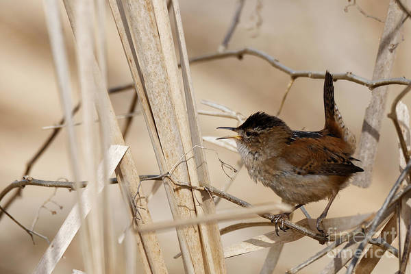 Photograph - Marsh Wren Song by Sue Harper