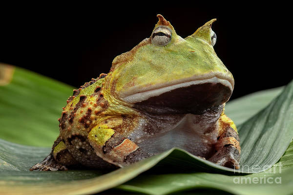 Wall Art - Photograph - Pacman Frog Or Toad, South American by Dirk Ercken