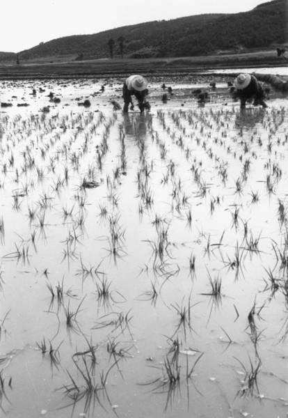 Farm Photograph - Paddy Field by John Chillingworth