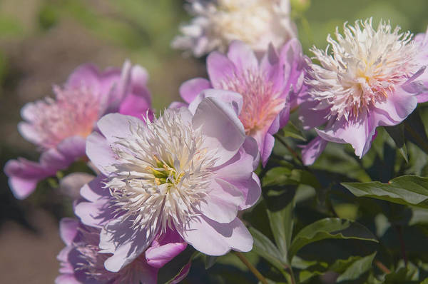 Photograph - Paeonia Lactiflora English Princess by Jenny Rainbow